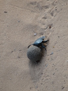 20-05 A male dung beetle with a perfect dung ball
