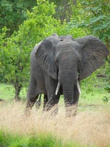 20-10 Lone adolescent elephant