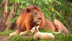 lions & sheep