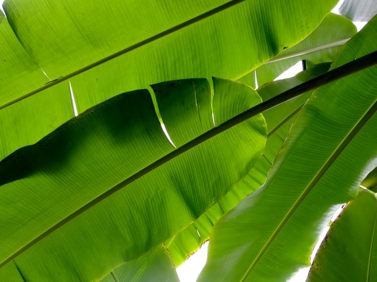 32-03 Palm Leaf, Sichuan