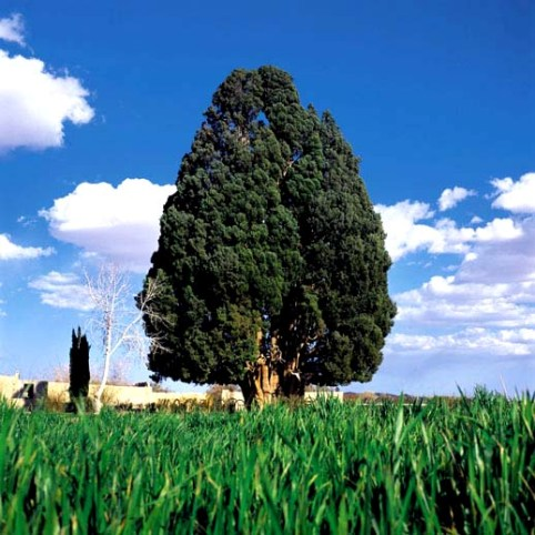4500-year-cypress-tree-Yazd