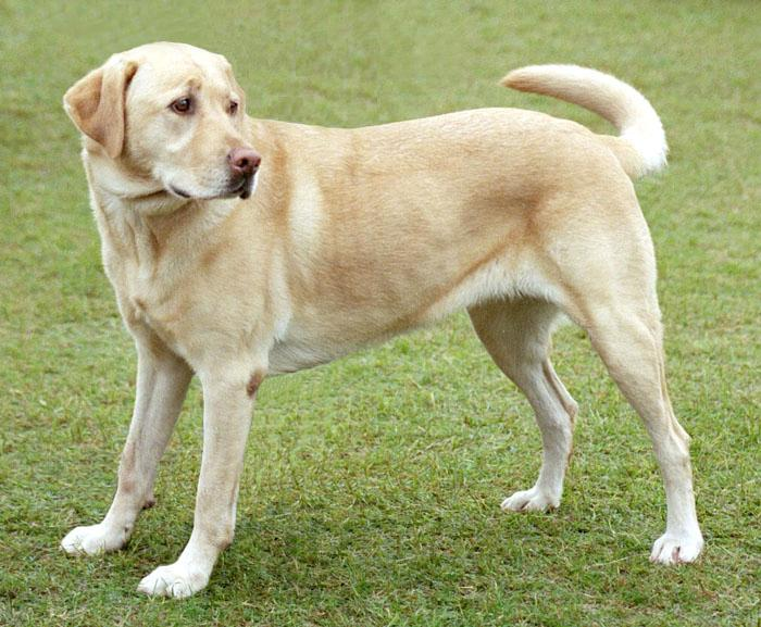 YellowLabradorLooking_new