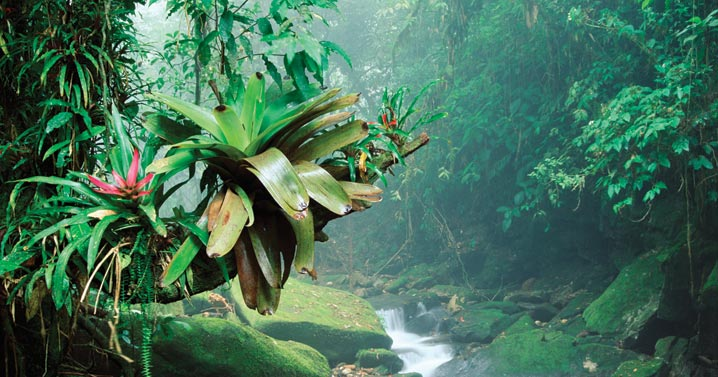 rainforest-bromeliad-minden-141530-718-377