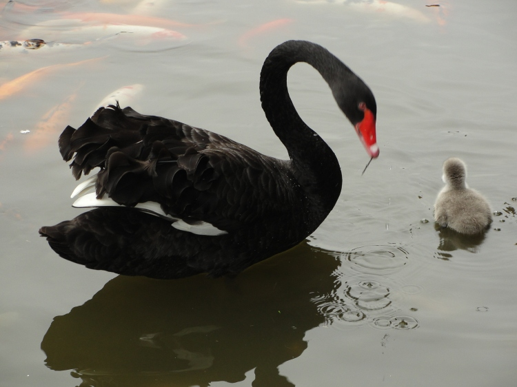 40-06 Black swan and signet