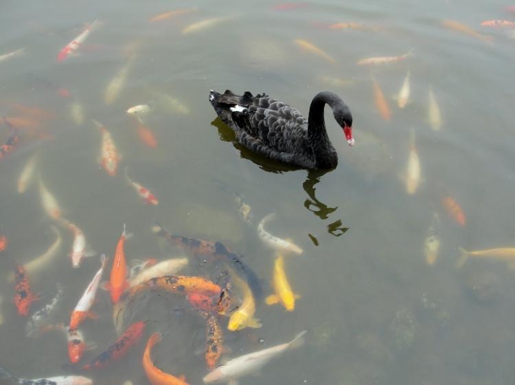 40-07 Black Swan & Koi Mandala
